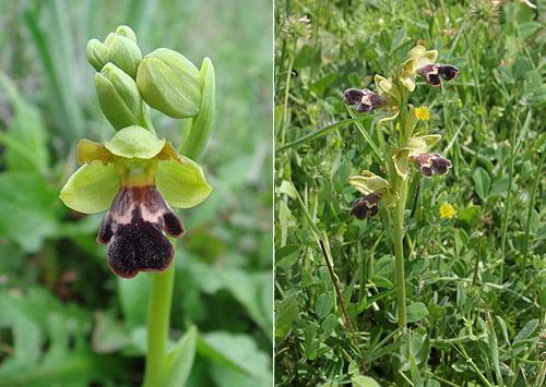 Dyris Orchid (Ophrys fusca subsp. dyris)