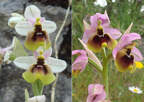 Sawfly orchid (Ophrys tenthredinifera) Orquídea avispa