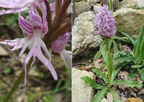 Italian Orchid - Naked man orchid (Orchis italica) Orquídea italica