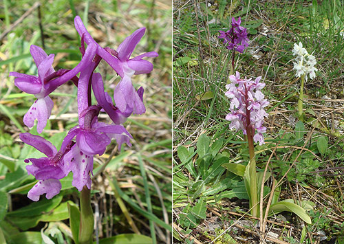 Southern Early Purple (Orchis mascula subsp. olbiensis)