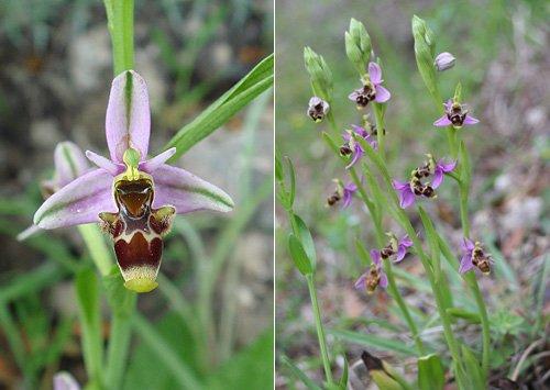 Woodcock Orchid (Ophrys scolopax scolopax) Orquídea perdiz / Orquídea becada