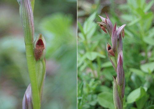 Small-flowered Tongue Orchid (Serapias parviflora) Serapias de flor pequeña