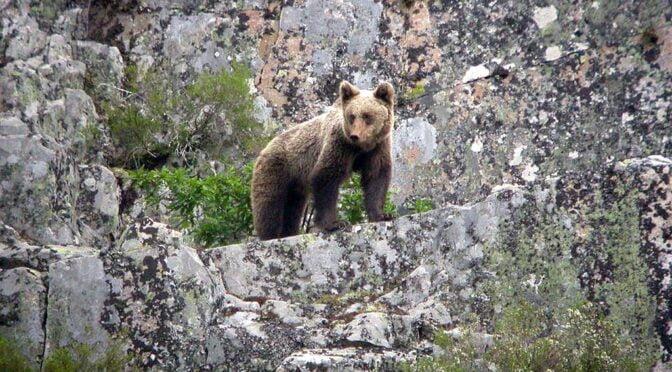 Cantabrian Brown Bear (Ursus arctos) Oso Pardo Cantábrico
