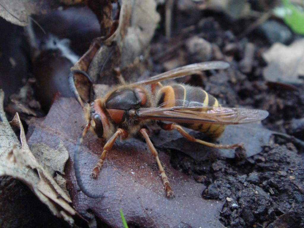 Hornets behave in a social manner, creating a nesting colony which thrives and dies in just one year life cycle.