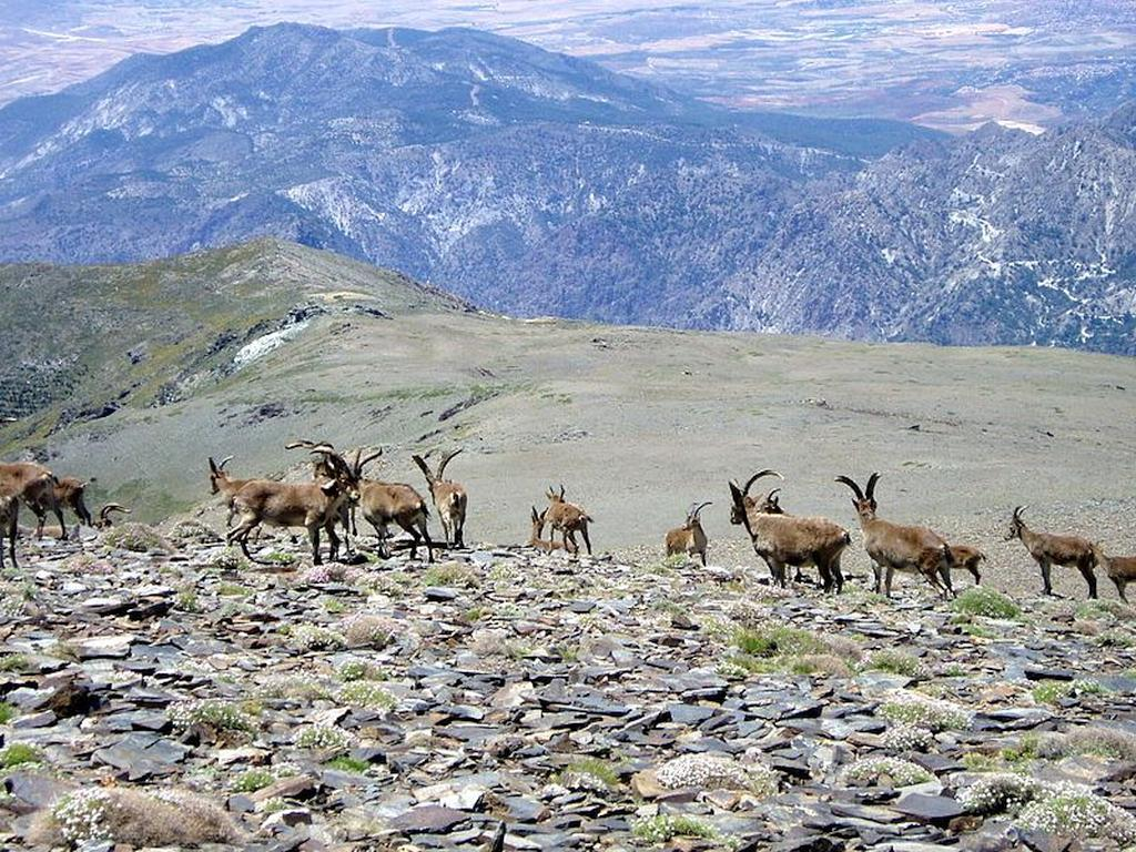 The Sierra Nevada mountain range in Andalusia Spanish Ibex