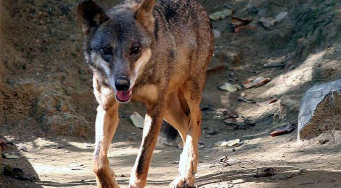 The best place to see wolves in Spain is in the rolling hills of the Sierra de la Culebra.