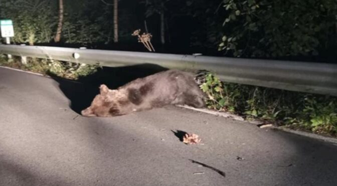 Bear hit by car in Asturias