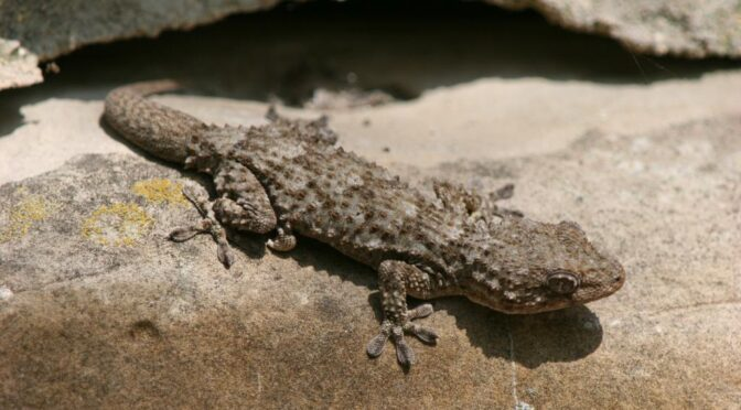 The Moorish gecko
