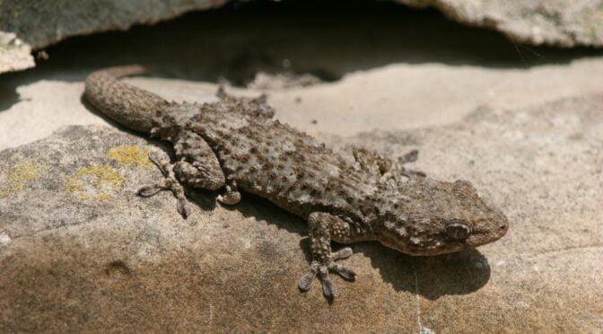 Moorish Gecko in Spain
