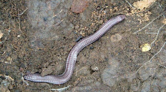 Southwest Iberian Worm Lizard