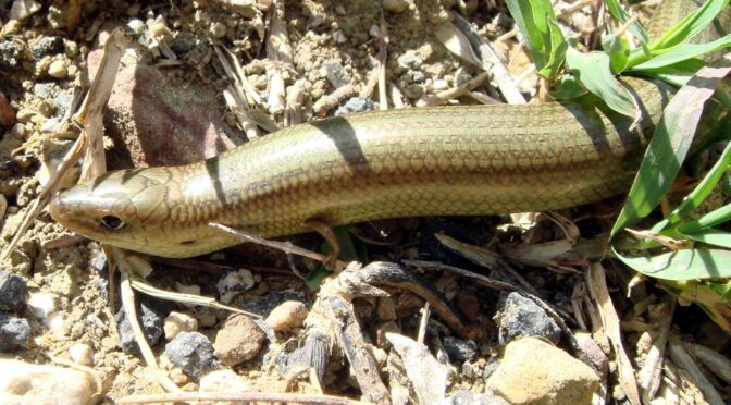 Western Three-toed Skink