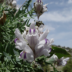 Linaria antecaria at El Torcal
