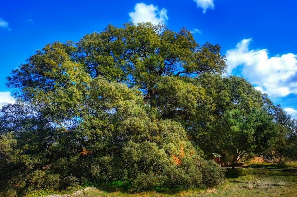 The old oak tree of Lecina