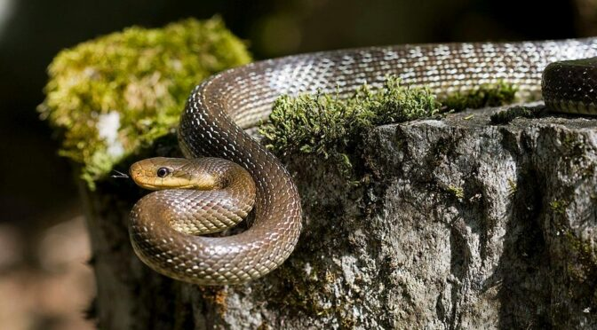Aesculapian Snake (Elaphe longissima or Zamenis longissimus) Culebra de esculapio