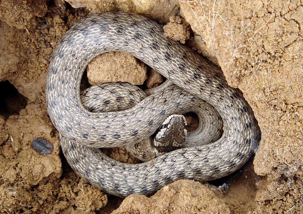 Western false smooth snake - Macroprotodon brevis ibericus - Culebra de Cogulla