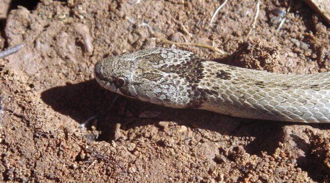 Western false smooth snake – Macroprotodon brevis ibericus – Culebra de Cogulla