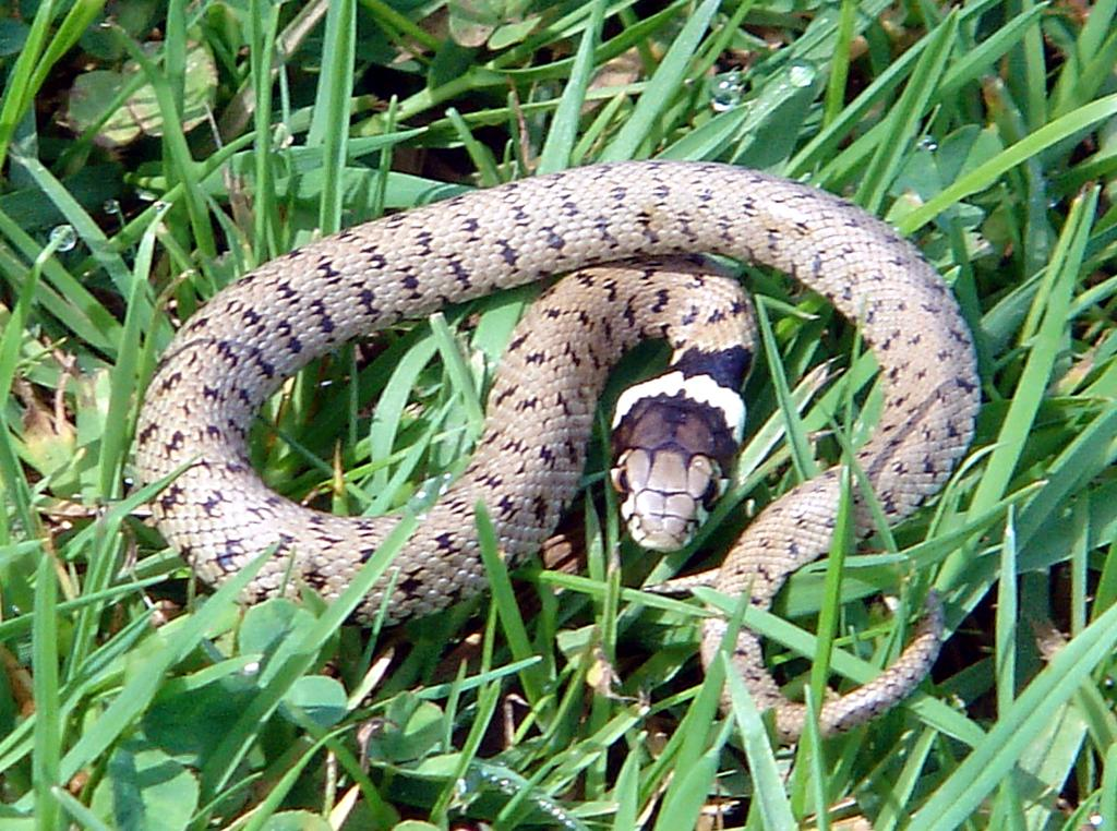 Grass snake - Natrix natrix - Culebra de Collar1
