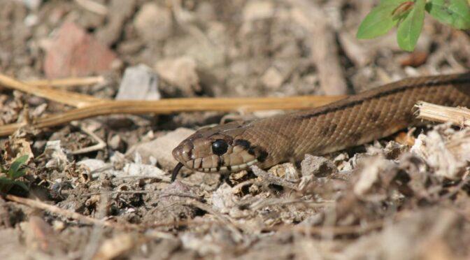 Ladder Snake (Zamenis scalaris) Culebra de escalera