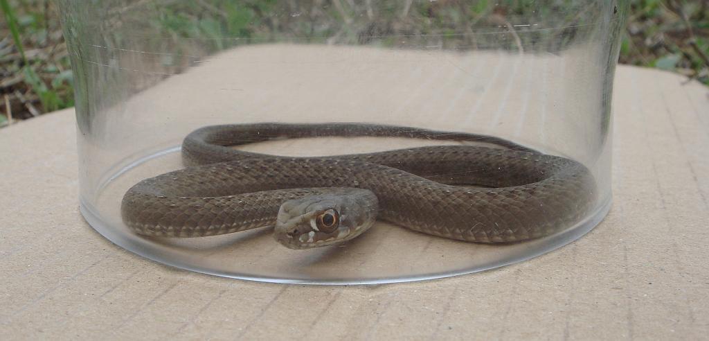 Montpellier Snake (Malpolon monspessulanus) Culebra bastarda2