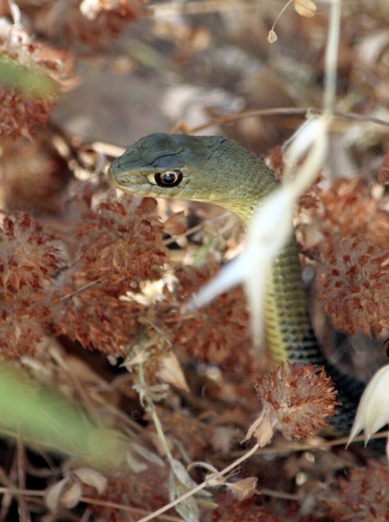 Montpellier Snake (Malpolon monspessulanus) Culebra bastarda3