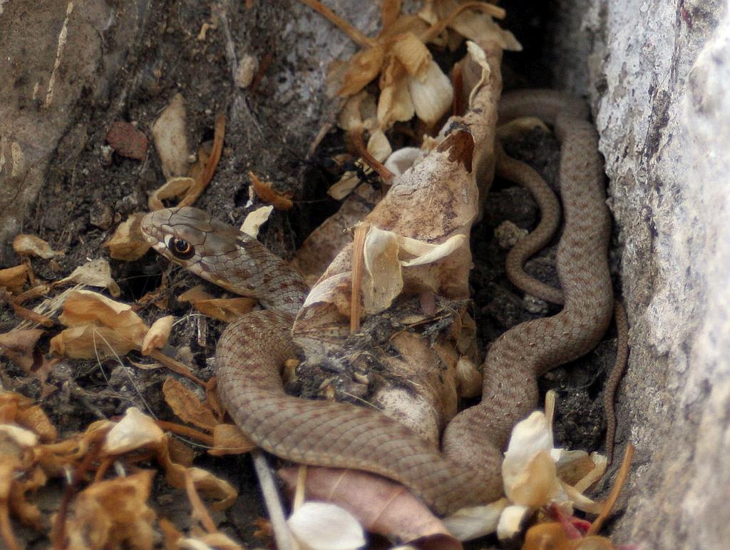 Montpellier Snake (Malpolon monspessulanus) Culebra bastarda4
