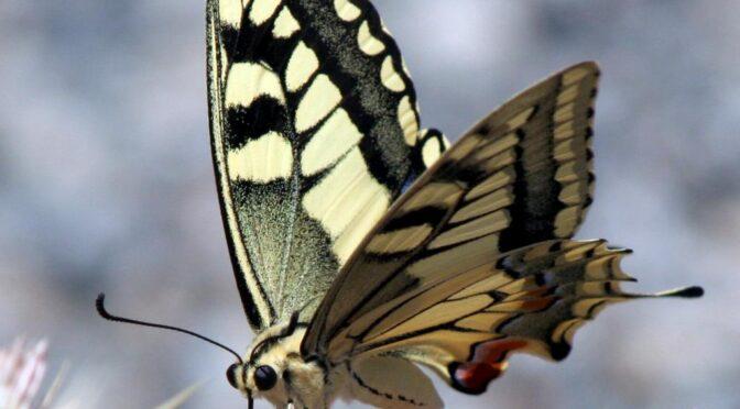 Swallowtail (Papilio machaon) Macaon