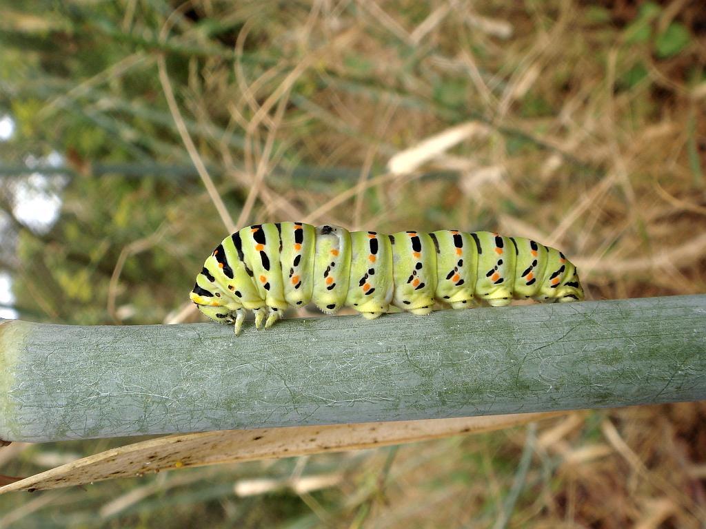 Papilio machaon-Macaon-Swallowtail caterpillar