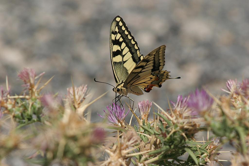 Papilio machaon-Macaon-Swallowtail1