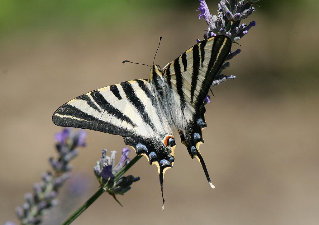 Scarce Swallowtail (Iphiclides podalirius) Chupaleches