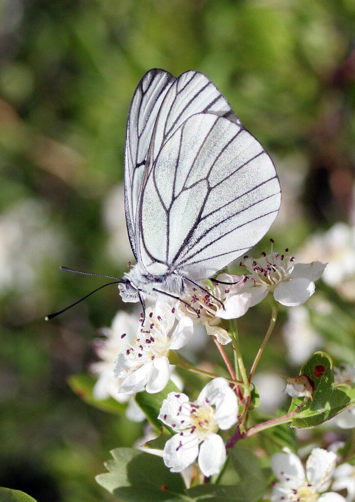 Aporia crataegi- Blanco del Majuelo-Black-veined White