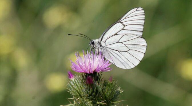 Black-veined White – Aporia crataegi –  Blanca del Majuelo