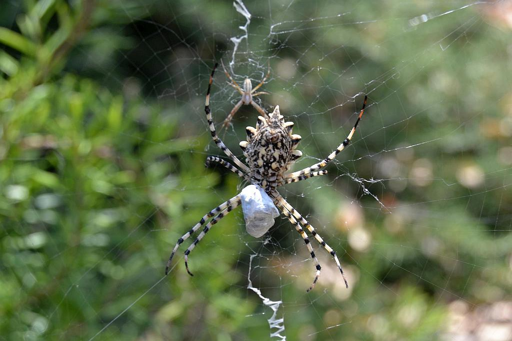There are three Argiope spiders in Spain. The above image is of the lobed argiope and you can clearly see the much smaller male above and to the left of her.