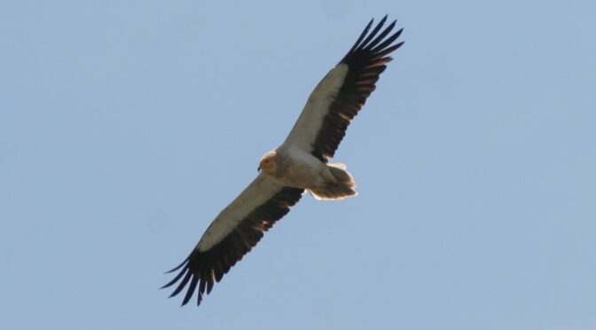 Happy migration time for Buoux the Egyptian vulture