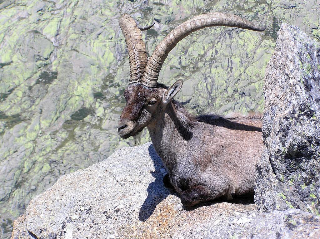Western Spanish Ibex or Gredos Ibex (Capra pyrenaica victoriae)