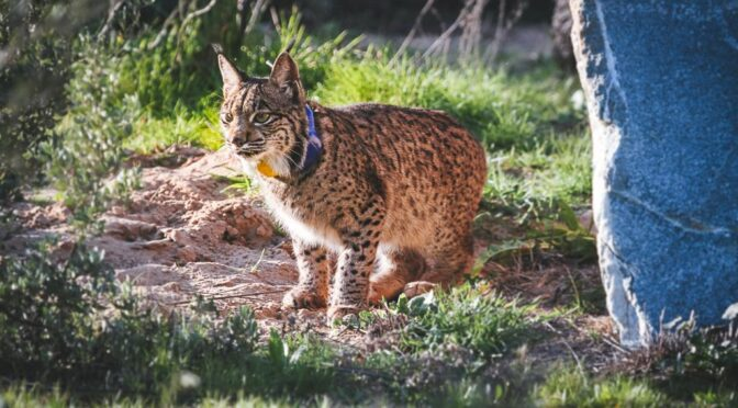 Missing Iberian Lynx in Cordoba