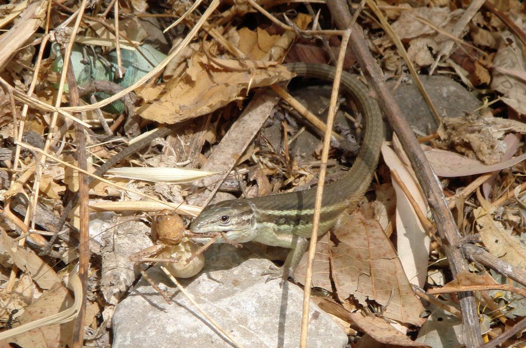 Large Psammodromus - Psammodromus algirus – Lagartija colilarga-2