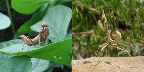 Mantids of Iberia Ameles sp. and nymph of Empusa pennata