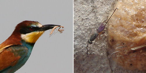 Mantis Predators: Bee-eater and parasitic wasp