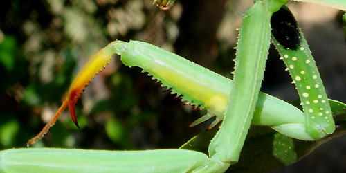 Common European Praying Mantis leg detail