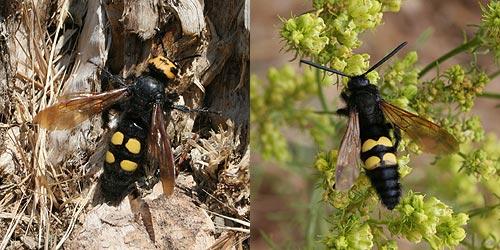Mammoth Wasp (Megascolia (Regiscolia) maculata flavifrons) Avispa parasita de cuatro puntas
