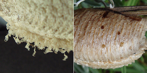 Mantis oothcae: after emergence: after parasitic wasp emergence