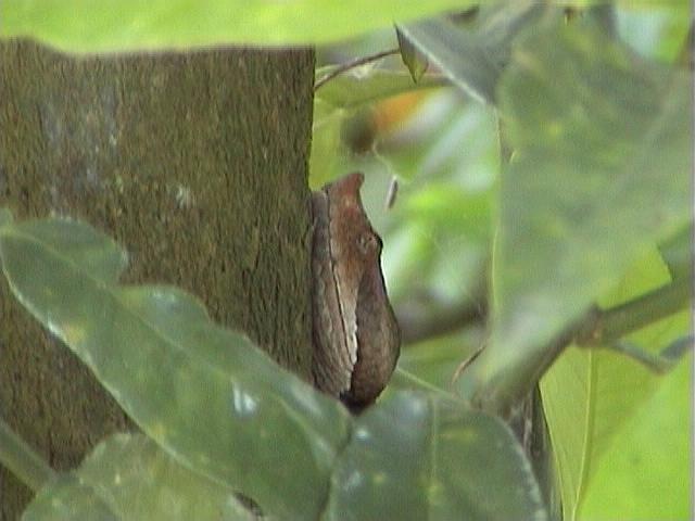 Lataste's Viper - Vipera latastei - Vibora hocicuda