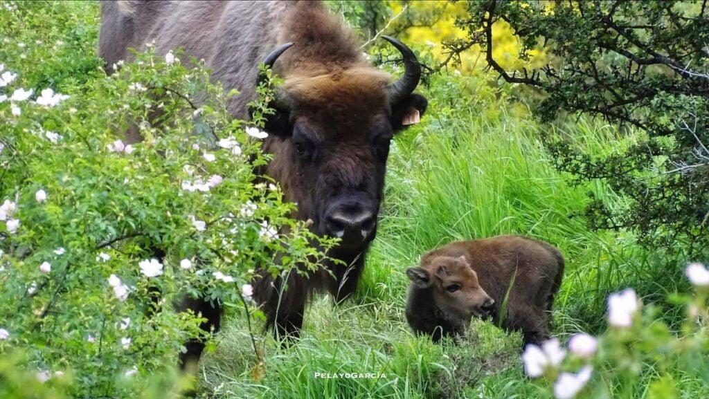 Bison calf born in June 2020 at the Valle del Bisonte (Bison Valley), Montaña de Riaño in the Picos de Europa