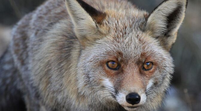 Iberian red fox (Vulpes vulpes Silacea) Zorro