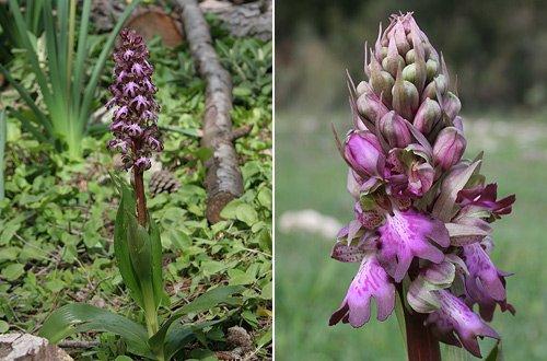 Giant Orchid (Himantoglossum robertiana) Orquídea gigante