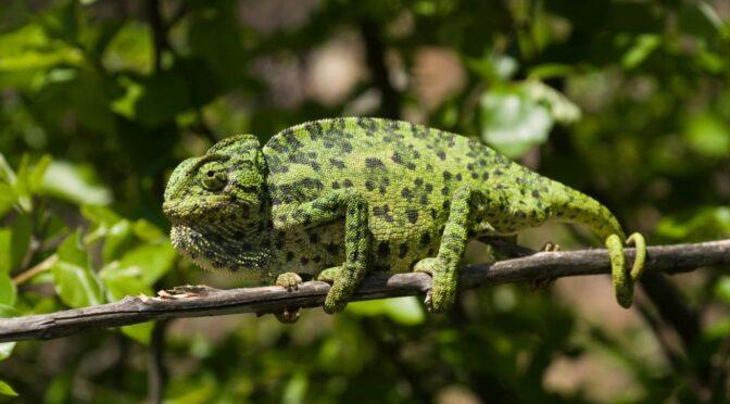 Mediterranean Chameleon – Chamaeleo chameleon – Camaleón comun