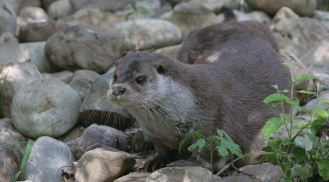 The Otter - Lutra lutra -Nutria Europea (in Spain the European otter)