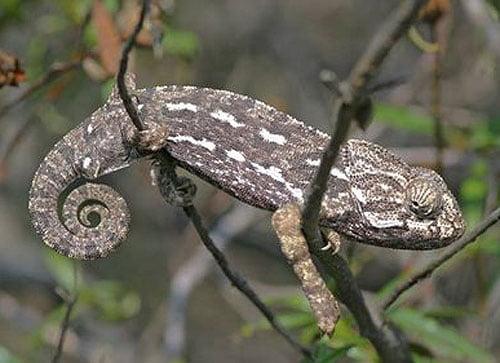 Mediterranean Chameleon - Chamaeleo chameleon - Camaleón común