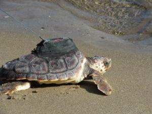 Colomera sea turtle with satelite tracker