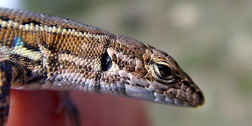 Spanish Psammodromus (Psammodromus hispanicus) Lagartija cenicienta